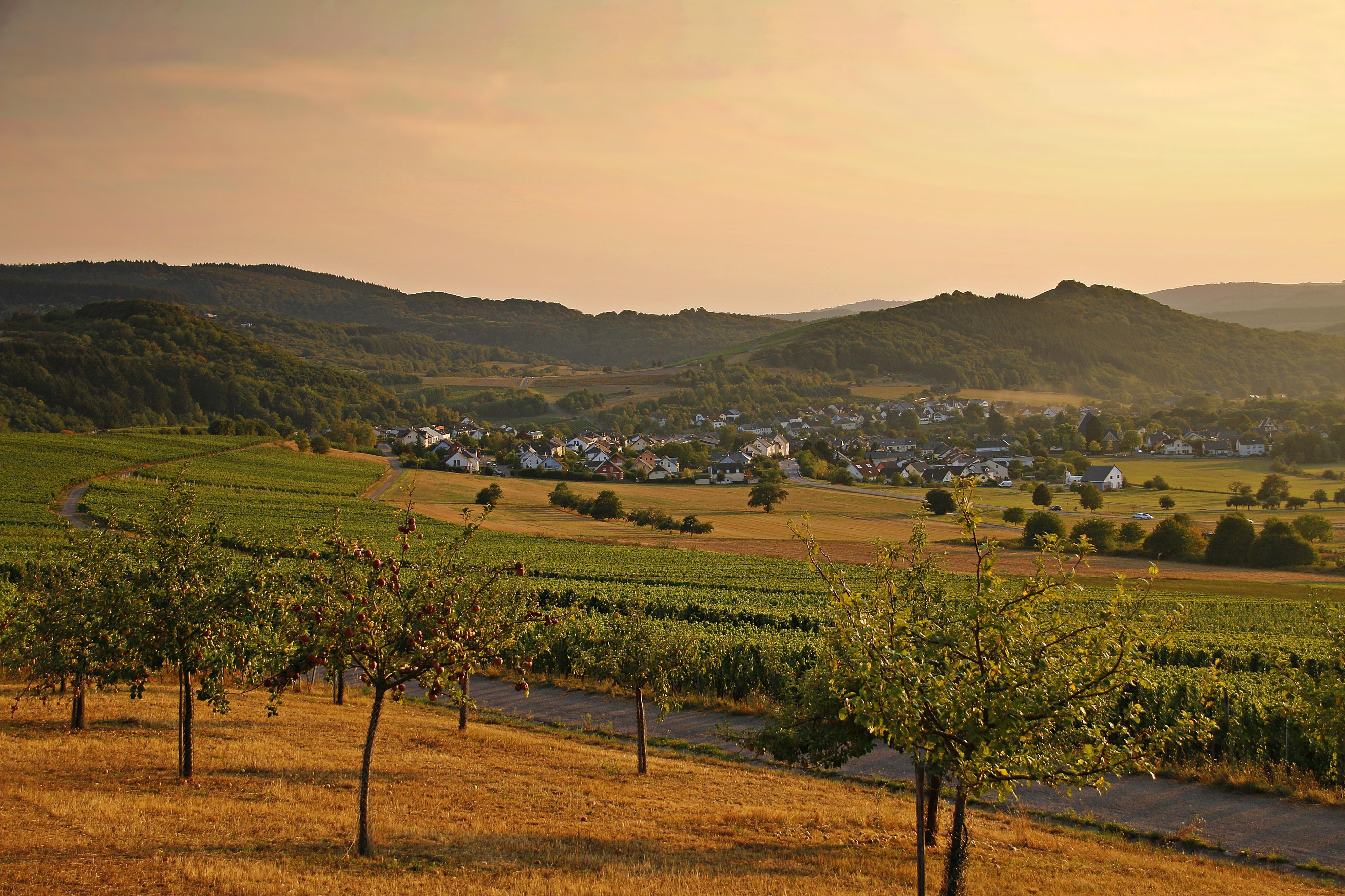 Schöne Landschaft mit Obstbäumen und Weinbergen in der Abendsonne, im Hintergrund eine Ortschaft
